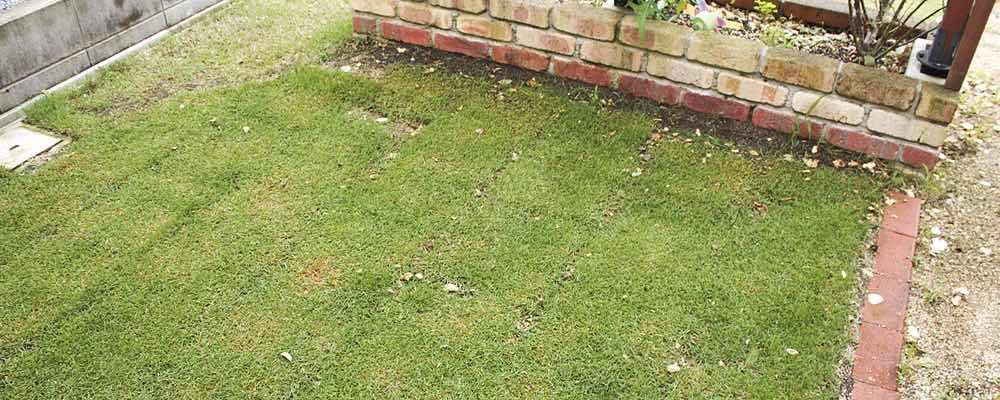 害虫 芝生