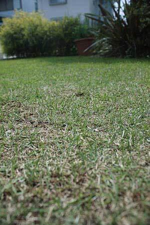 サッチング後の芝生