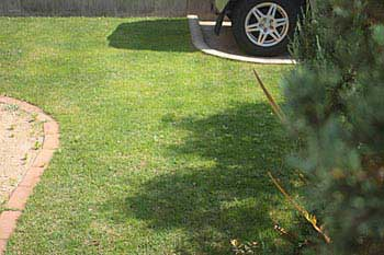昨年植えた芝生