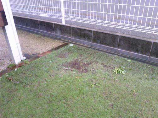 台風後の芝生の様子