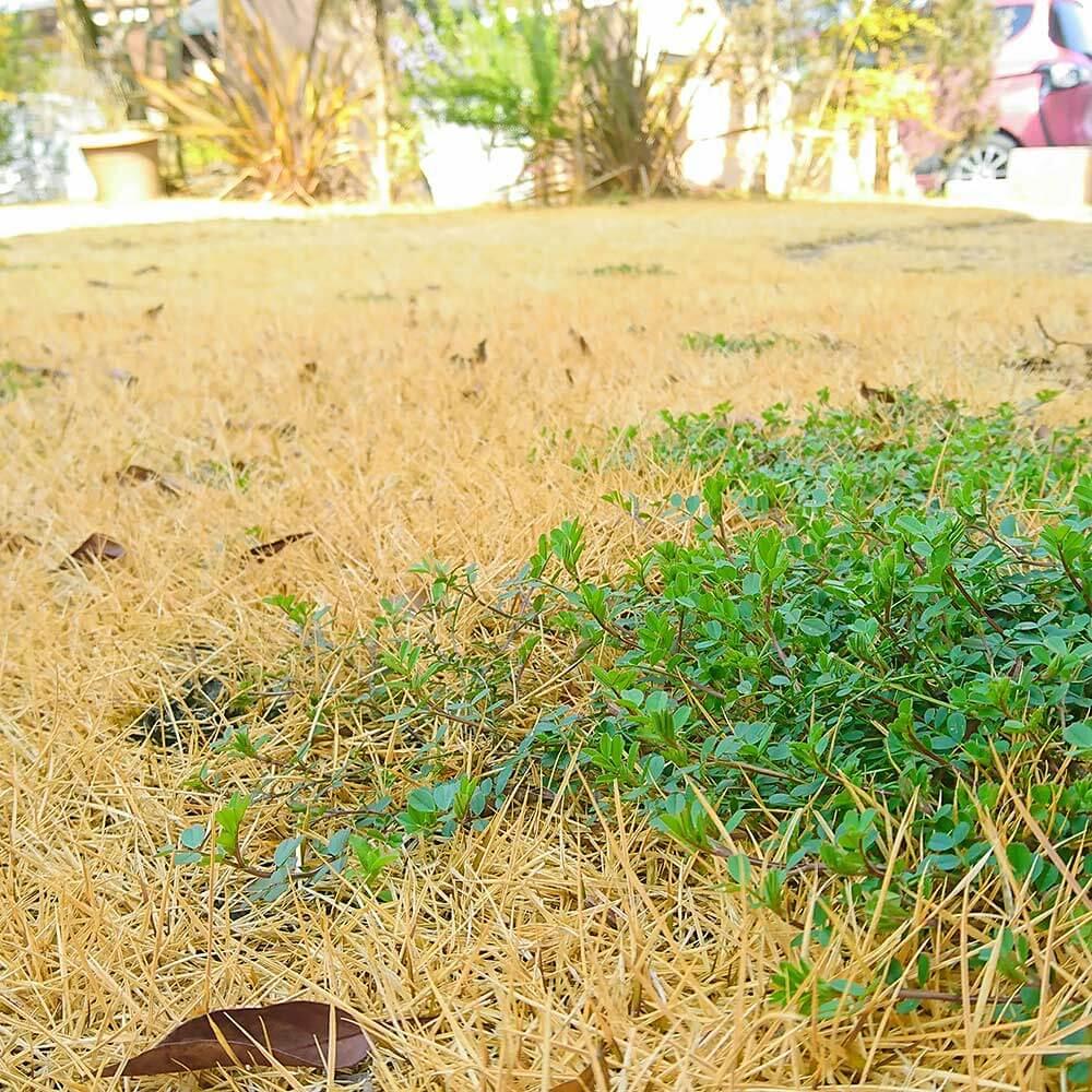 芝生に生えるニシキソウ